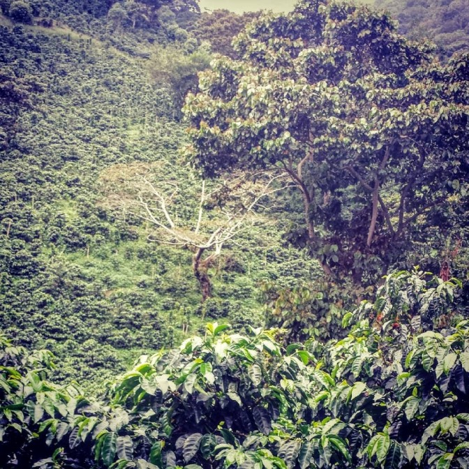 Coffee plantation, Finca Lerida