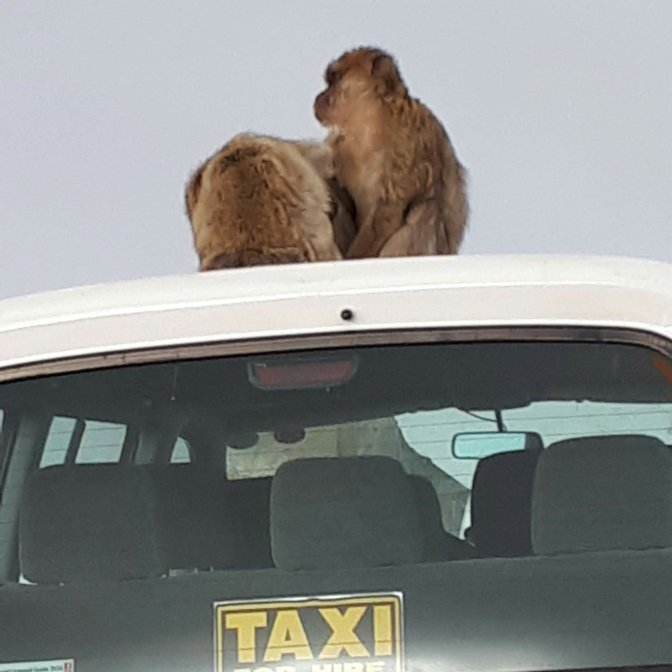 Monkeys on a taxi