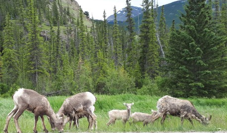 A family of big horn sheep in Jasper National Park